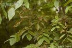 """<a href=""""/clm/species/coleophora_ulmifoliella""""><em>Coleophora ulmifoliella</em></a> (Elm Casebearer) damage."""